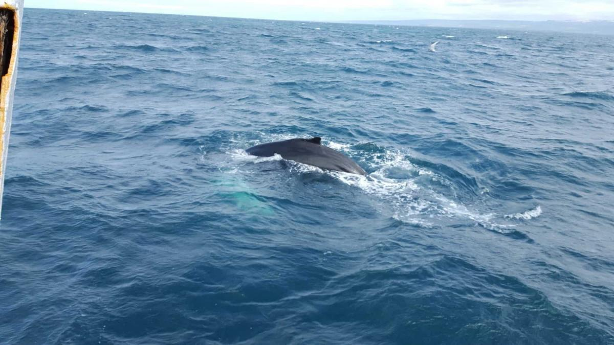 Fight whaling in Iceland with whale watching